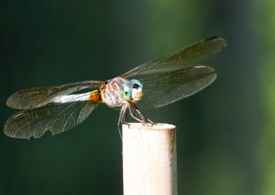 Blue dragonfly with the broken wing